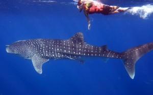 whaleshark snorkeling