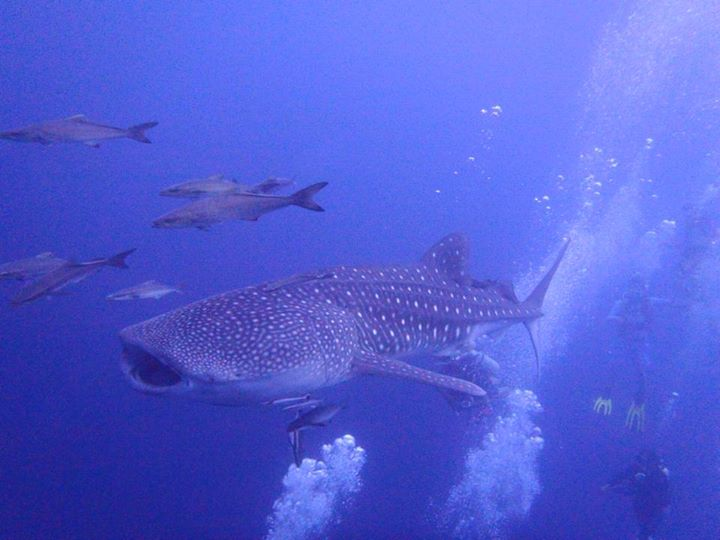 whale shark at Hin Daeng