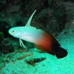 red fire goby