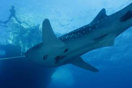 Whale shark March 2015 Hallelujah
