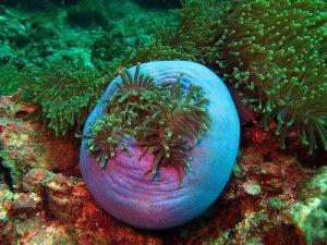 Surin Islands Anemone