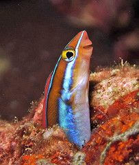 Anitas Reef Similan Islands. Blenny