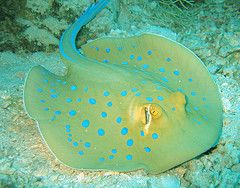 Blue Spotted Sting Ray, Stonehenge, Similan Islands
