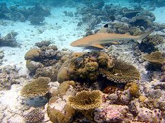 Breakfast Bend dive site. Black tip reef shark