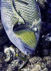 Chumphon Diving. Titan Trigger fish