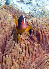 Coral Reef dive site. Skunk Anemone Fish