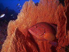 Fantasy Reef seafan