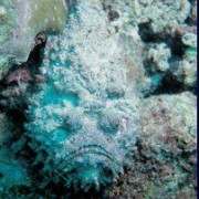 Koh Chang diving. Stonefish