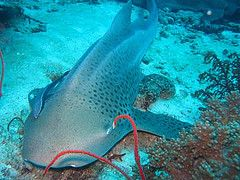 Leopard shark Phuket diving