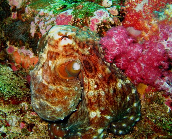 Phuket diving Octopus