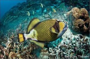 Racha Yai Island. Titan trigger fish