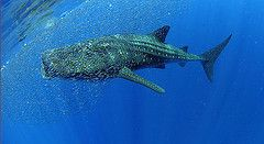 Richelieu Rock whale shark