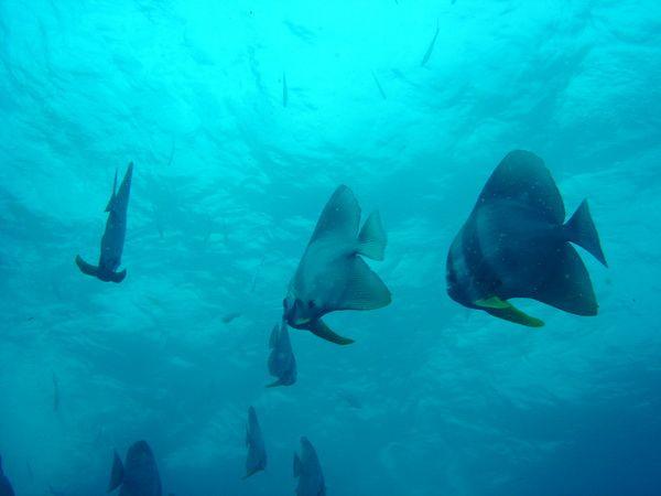 Sail Rock diving. Good viz and batfish