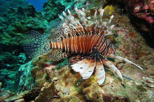 Similan Islands Lion fish