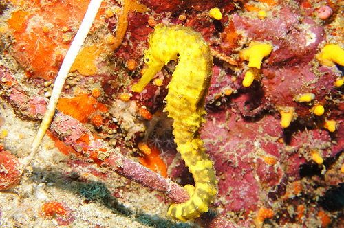 Yellow tiger tail seahorse