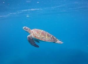 snorkeling turtle