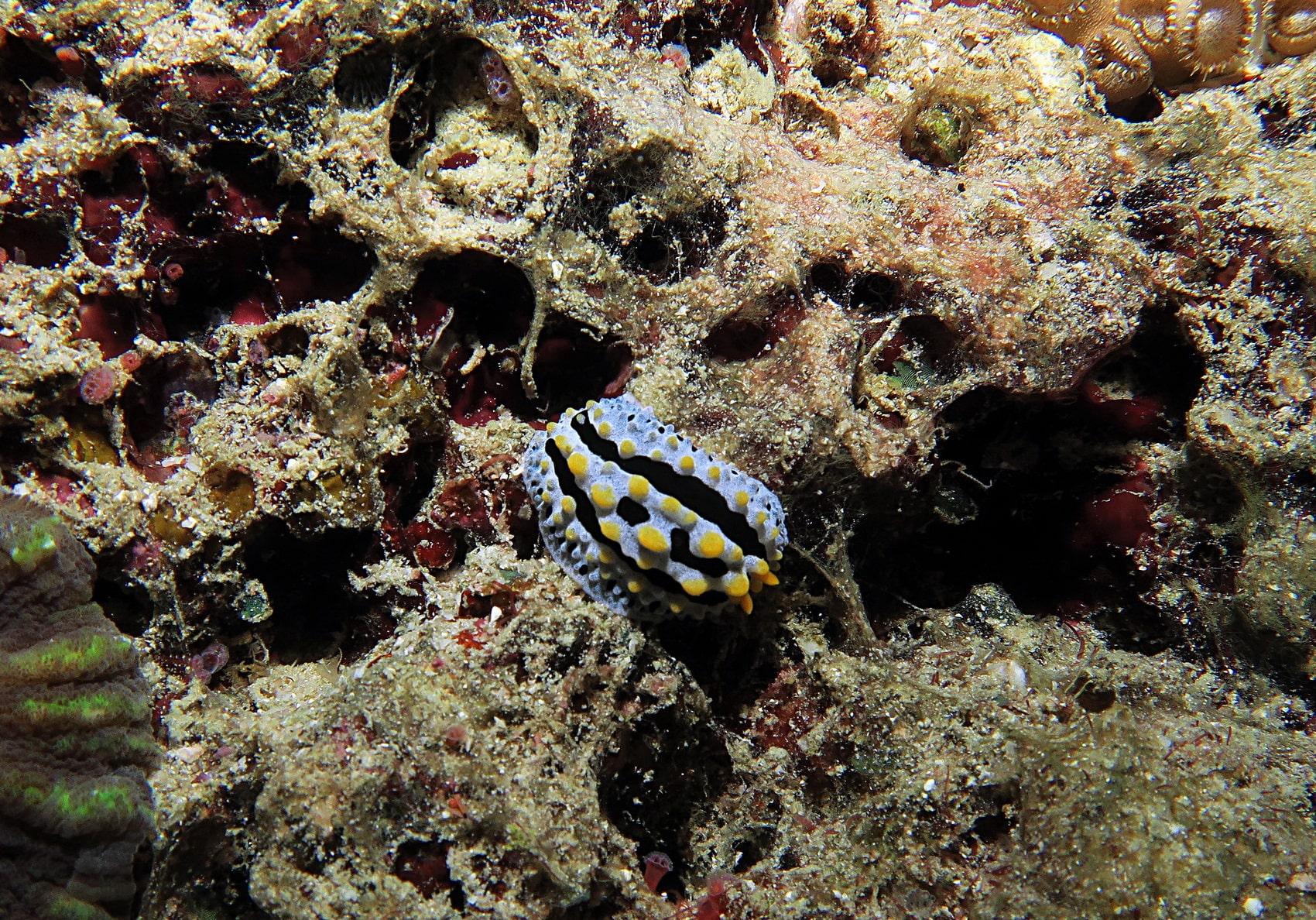 Similan Islands nudibranchs and sea slugs