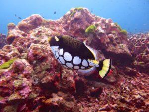 Similan Islands Clown Trigger fish