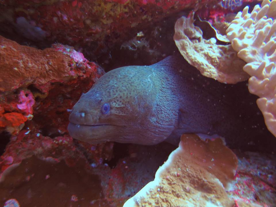 Similan Islands Giant Moray