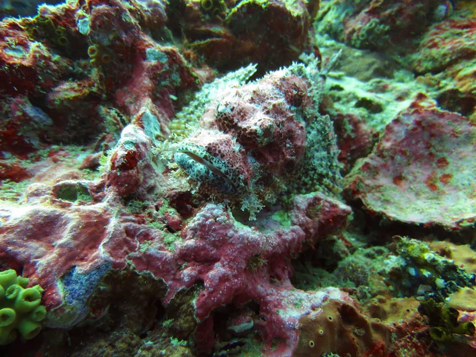 Similan Islands scorpionfish
