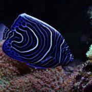 juvenile-emperor-angelfish