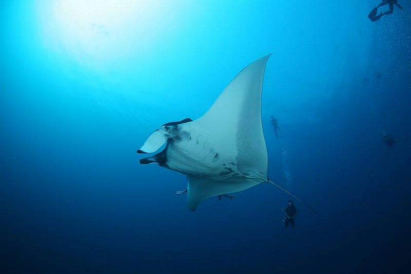 Manta ray November 2014 at Koh Bon