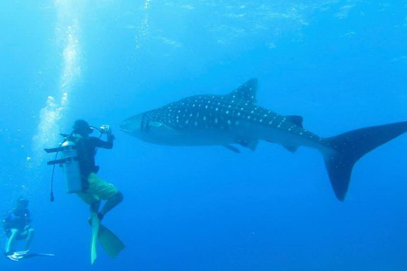 Whale shark Nov 2014