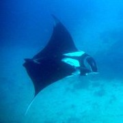 Boulder City manta ray