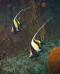 Moorish Idol Thailand Liveaboards