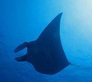 North Point (นอร์ท พ้อยท์ ) dive site. Manta Ray