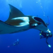 where to dive with manta rays