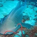 Leopard shark Phuket diving - สถานที่ดำน้ำ ภูเก็ต