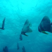 Sail Rock diving. Good viz and batfish