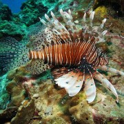 Similan Islands Red Lionfish