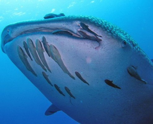 Whale shark with South Siam