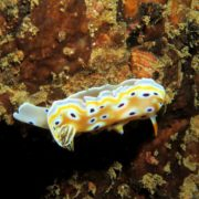 Similan Islands nudibranchs and sea slugs