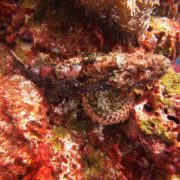 Similan Islands scorpionfish