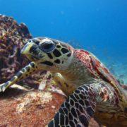Similan Islands turtle