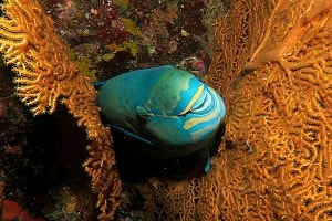 Parrotfish | ปลานกแก้ว